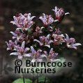 Small image of TRICYRTIS