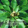 Small image of TROCHODENDRON