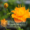 Small image of TROLLIUS