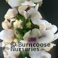 Small image of VERBASCUM