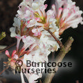 Photo of VIBURNUM x bodnantense 'Charles Lamont'