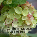 Small image of VIBURNUM