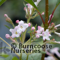 Photo of Viburnum x bodnantense 'Dawn' giftwrapped & delivered for £29.50 saving £6.00