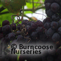 Small image of VITIS