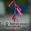 Small image of WATSONIA
