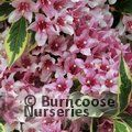 Small image of WEIGELA