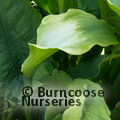 Small image of ARUM LILY - see ZANTEDESCHIA