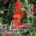 Small image of ZAUSCHNERIA