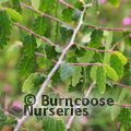 Small image of ZELKOVA