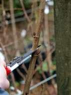 Pruning Populus