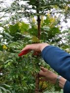 Pruning Mahonias