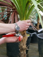cutting back damaged palm