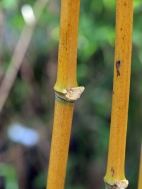 pruning & tidying bamboo