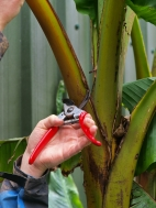 3. Cut back close to the stem using a sharp pair of secateurs.