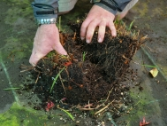 3. If in a pot use hands to break fair sized clumps. If in ground use fork to dig up small sections.