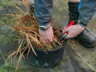 1.Using sharp secateurs remove old heads and stems to ground level.