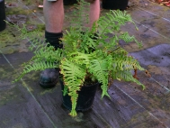 1.	Select fern to tidy