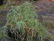 1.Deciduous grasses tend to look messy at this time of year