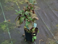 1.Dahlia's, Canna's and Ginger's in frost prone areas need lifting to protect against winter wet and cold