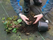 5.Shake off lose soil from around the tuber/rhizome
