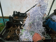 9.Once the soil around the tuber/rhizome has dried, place in a tray and cover with dry compost or shredded paper