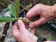 Daphne bholua  cuttings 1
