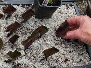 Eucomis 'Sparkling Burgundy' cuttings 6