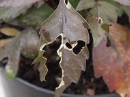 Slug damage on dahlia