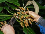 Collecting rhododendron seeds