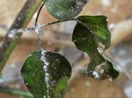 Mealey Bug