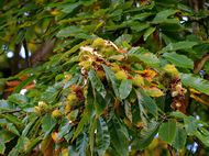 Collecting seeds - sweet chestnut