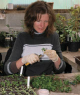 Plant propagation at Burncoose Nurseries